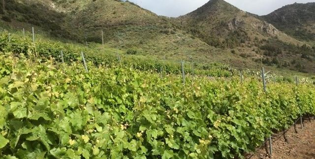 Tenerife becomes the Spanish wine capital this week